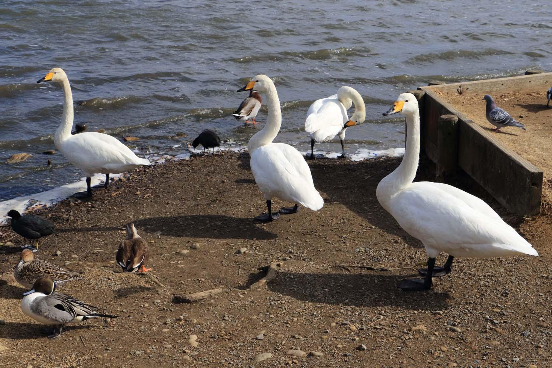 白鳥の湖page-visual 白鳥の湖ビジュアル