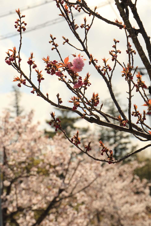 ソメイヨシノと八重桜page-visual ソメイヨシノと八重桜ビジュアル
