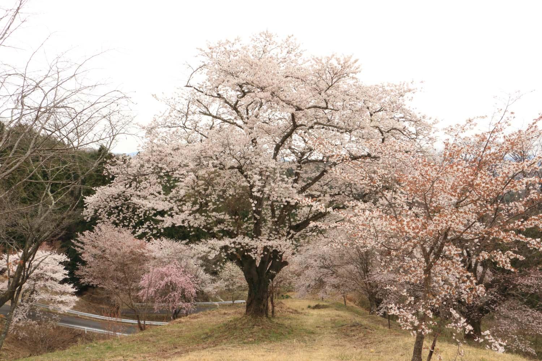 沓掛峠の山桜page-visual 沓掛峠の山桜ビジュアル