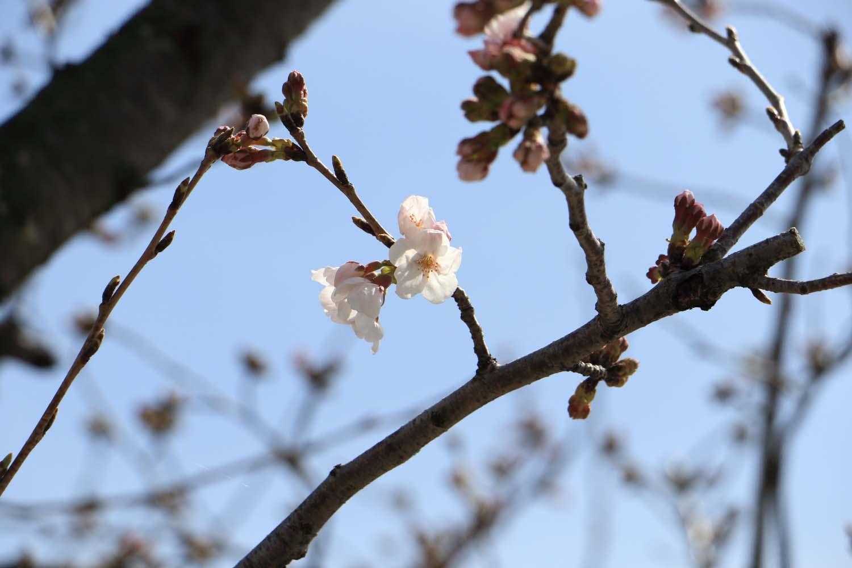 桜咲くpage-visual 桜咲くビジュアル