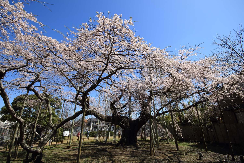 般若院の枝垂桜page-visual 般若院の枝垂桜ビジュアル