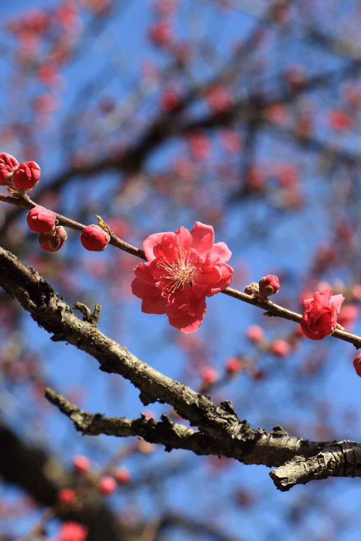 古河公方公園の桃の花page-visual 古河公方公園の桃の花ビジュアル