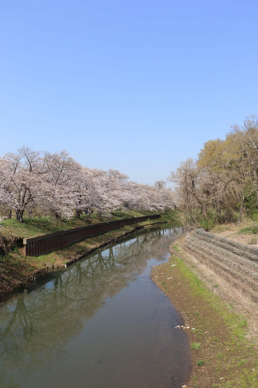 福岡堰の桜page-visual 福岡堰の桜ビジュアル
