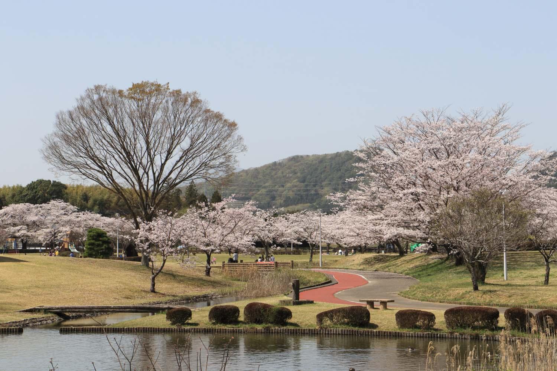 柏原池公園の桜page-visual 柏原池公園の桜ビジュアル
