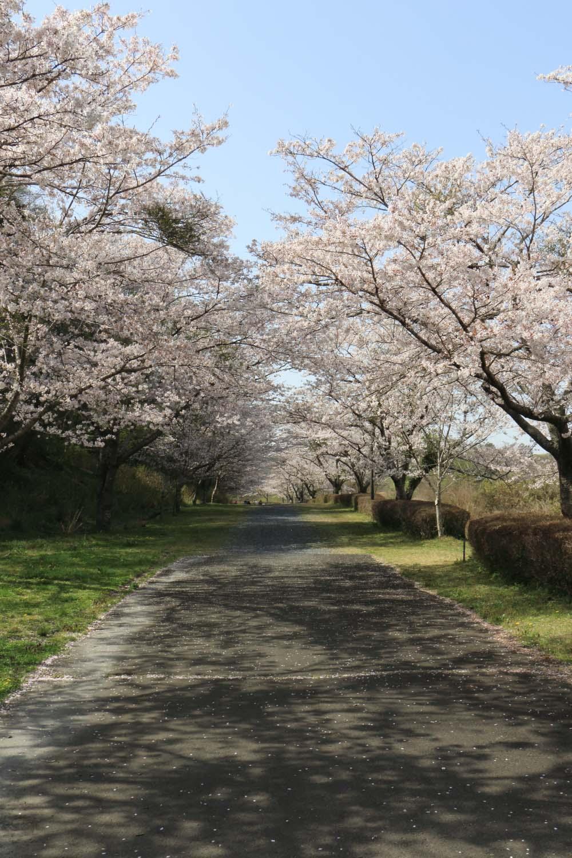 涸沼自然公園の桜page-visual 涸沼自然公園の桜ビジュアル